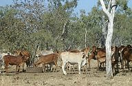 Cattle at Charnley River Station