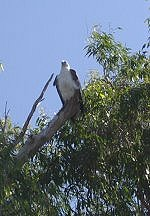 Sea Eagle, Yellow Waters, Kakadu NP