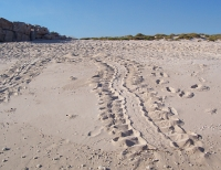 Turtle tracks, Bigge Island