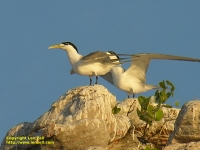 Tern on Sterna Island