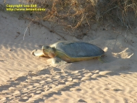 Turtle at Bare Sand Island