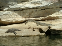 Freshwater crocodiles, Geikie Gorge