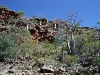 Boab trees on hillside in Keep River NP