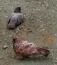 Discoloured pigeons at Port Hedland