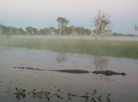Crocodile in the mist, Yellow Water, Kakadu N.P.